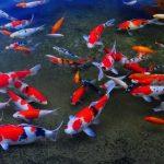 Jenis Ikan Koi Asagi dan Ciri-cirinya