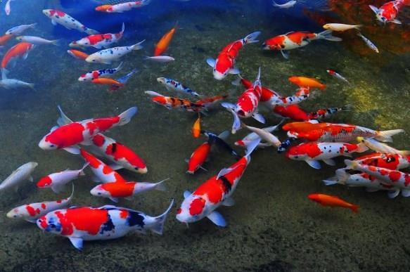 Daftar Harga Ikan Koi Berbagai Jenis dan Ukurannya