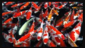 Jenis Makanan Ikan Koi