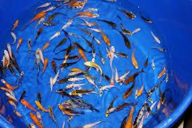 Cara Budidaya Ikan Koi Termudah