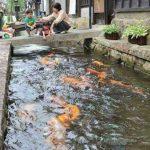 Ikan Koi Seharga Rp 27 Milyar, Termahal di Dunia!