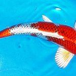 Jual Ikan Koi Hikarimono