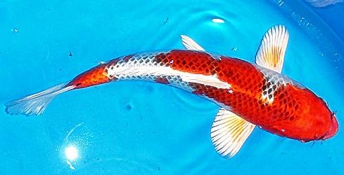 Harga Ikan Koi Berbagai Jenis Berkualitas Terbaru