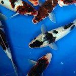 Ciri Fisik dan Jenis Ikan Koi Jepang Asli