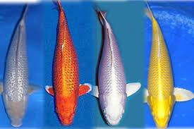 Tips Mengenal Ikan Koi
