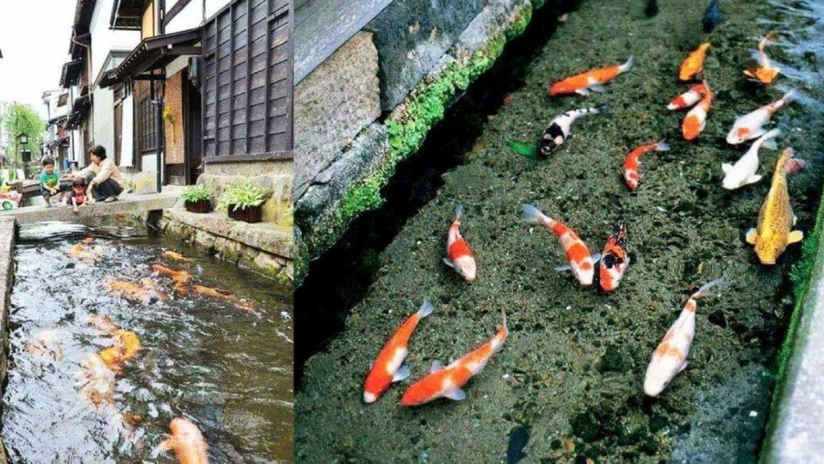 Tsuwano Kota Kecil Di Jepang Dengan Ribuan Ikan Koi Agro Koi Farm